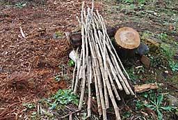 タラの木の育て方